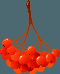 Guelder-rose berries clipart
