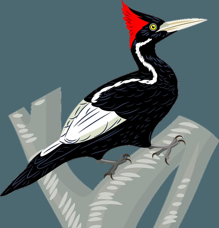 Ivory-billed woodpecker clipart