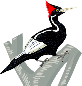 Ivory-billed woodpeckerのクリップアート