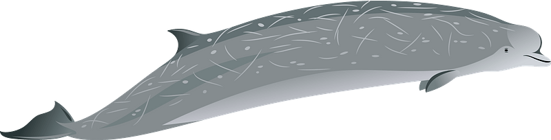 Southern bottlenose whale clipart