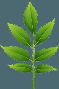 Arizona ash spring leaf clipart