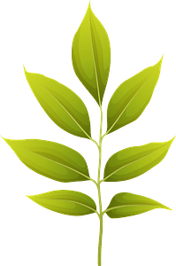 Arizona ash summer leaf clipart