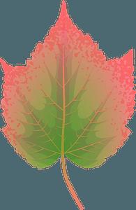Mountain maple autumn leaf clipart