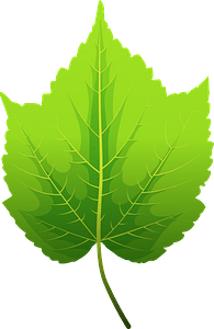 Mountain maple green leaf clipart