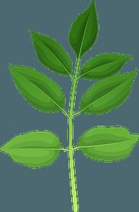 Texas ash green leaf clipart