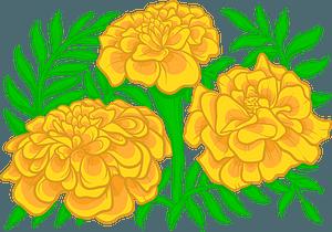 Marigold clipart