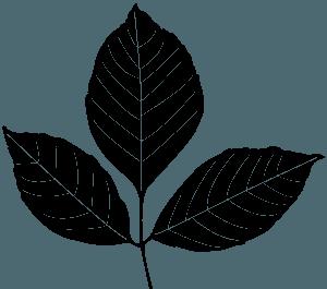 Ash Leaf silhouette