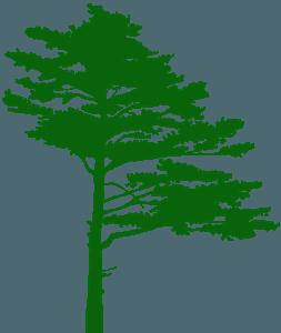 松树的剪影