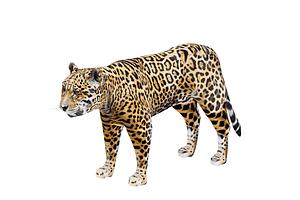 Jaguaari 3D-malli