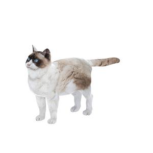랙돌 고양이 3D 모델