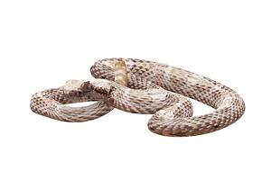 Arizona snake 3D-malli