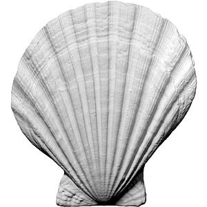 Scallop Mollusk 3D Model