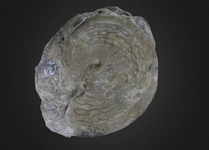 Medlicottia intermedia Cephalopod 3D Model