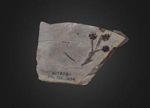 Pinophyta: Metasequoia occidentalis (Cornell U.) 3D-Modell