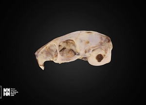 Octodon degu 3D Model