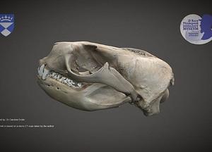 Sea lion skull 3D Model