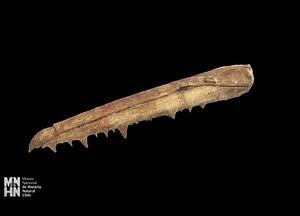 Pelagornis chilensis beak 3D Model