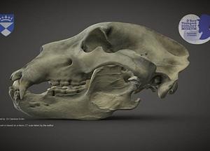 Brown Bear skull 3D Model