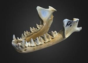 Nyctalus noctula 3D Model