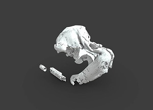 Odobenocetops peruvianus 3D Model