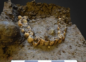 Human teeth found in the village of Velbastað 3D Model
