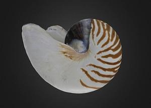 Nautilus pompilius Cephalopod 3D Model
