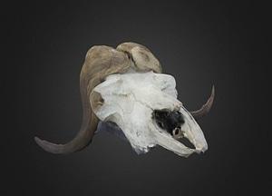 Ox Skull 3D Model