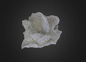Agaricia agaricites Coral 3D Model