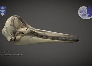 Right Whale Dolphin skull 3D Model