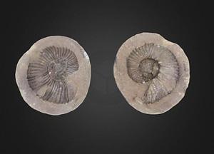 Gunnarites Cephalopod 3D Model