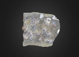 Maorites Cephalopod 3D Model