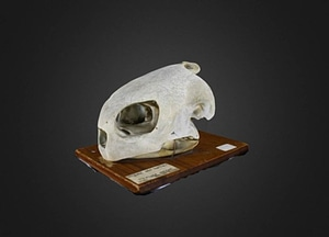 Chelonia mydas 3D-malli