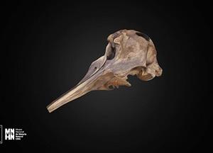 Mesoplodon peruvianus 3D Model