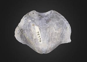 Spinocyrtia granulosa Brachiopod 3D Model