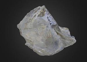 Ostrea antarctica Bivalve 3D Model