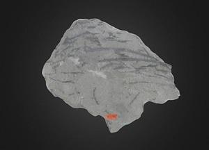 Sawdonia fossil 3D Model