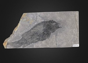Fish fossil 3D-malli