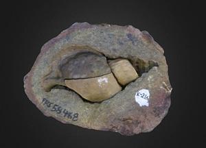 Cassidaria mirabilis Gastropod 3D Model