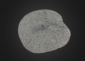 Dodecaceria fewkesi Annelida 3D Model