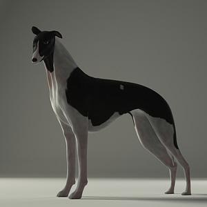Whippet Dog 3D Model