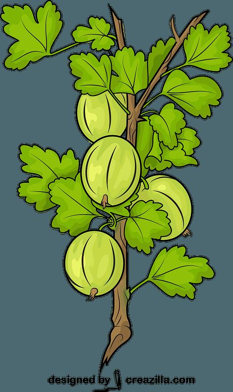 Fresh Gooseberries on a Branch vector