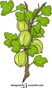 Fresh Gooseberries on a Branch vector