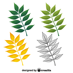 European ash leaves vector