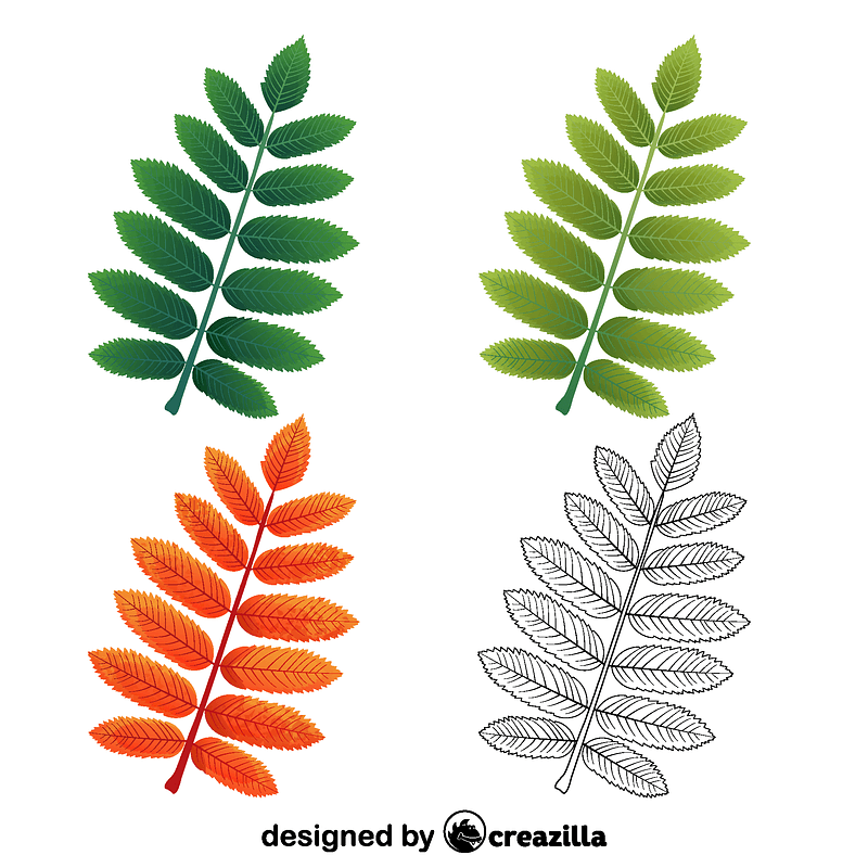 European mountain ash leaf vector