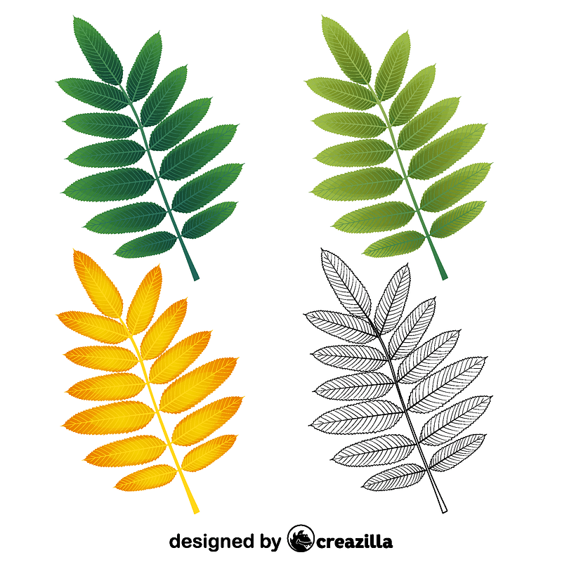 American mountain ash leaves vector