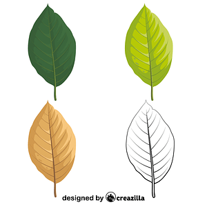 Cucumber tree leaves vector