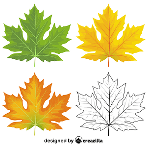Big leaf maple leaves vector
