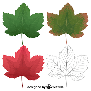 Sycamore maple leaves vector