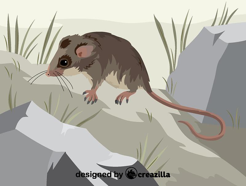 Mountain pygmy possum vector