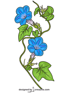 Ivy-leaved Morning Glory vector